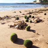 Solving the mystery of the algal balls at Dee Why