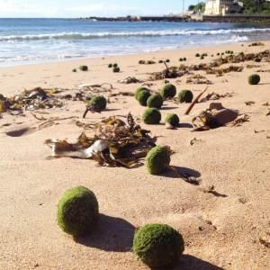 Green algal balls