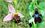 PhD Studentship opportunity! Sexually deceptive orchid pollination strategies: is one true love or broad sex appeal best?