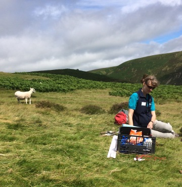 FSC staff member, equipment and curious sheep