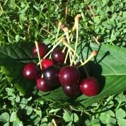 Cherries to fuel analyses!