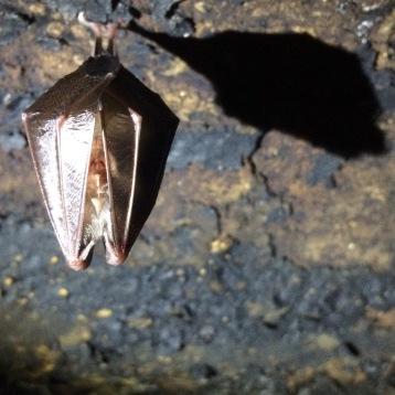Sleeping bat, Spain.